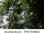 a howler monkey calls out from...   Shutterstock . vector #590754803