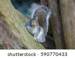 close up of a grey squirrel... | Shutterstock . vector #590770433