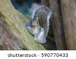 Close Up Of A Grey Squirrel...
