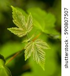 Small photo of Macro of sycamore (Acer pseudoplatanus) new leaves over green forest background
