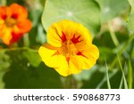 Beautiful Flower Nasturtium...