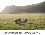 Icelandic Sheep Scurrying Away