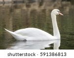 White Swans Float On Water In...