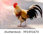 Rooster  Male Chicken  On A...