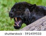 male black jaguar  panthera... | Shutterstock . vector #591459533