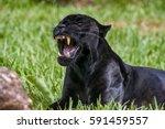 Male Black Jaguar  Panthera...