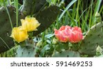 Blooming Prickly Pear Cactus....
