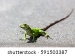 a green spiny lizard basks on... | Shutterstock . vector #591503387