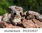 a sleepy snow leopard lying...   Shutterstock . vector #591513527