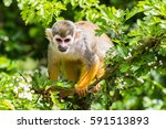 close up of a squirrel monkey...   Shutterstock . vector #591513893