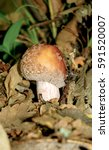 Small photo of Eatable mushroom, Amanita rubescens, in the forest.
