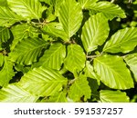 beech tree  leaves | Shutterstock . vector #591537257