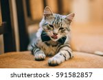 cat wearing black grooms bow... | Shutterstock . vector #591582857