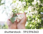 blossoming apple branch in...   Shutterstock . vector #591596363