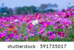 White Cosmos Flower With Bee I...