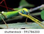 macro.the phasmatodea  also... | Shutterstock . vector #591786203