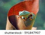 flying frog  frog  reinwardts... | Shutterstock . vector #591847907