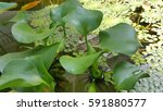 Water Hyacinth In A Lotus Pond.
