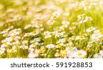 Stock photo daisy field landscape closeup spring nature colorful meadow under sunlight on summer background 591928853