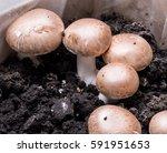 champignon mushrooms. fresh... | Shutterstock . vector #591951653