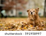 old golden retriever laying in... | Shutterstock . vector #591958997