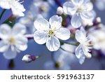 beautiful flowering cherry... | Shutterstock . vector #591963137
