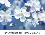 beautiful flowering cherry... | Shutterstock . vector #591963143