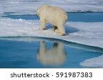polar bear on the ice | Shutterstock . vector #591987383