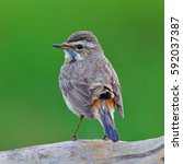 beautiful brown bird ... | Shutterstock . vector #592037387