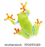 Small photo of Red eyed monkey tree frog, Agalychnis callydrias. A tropical rain forest animal with vibrant eye isolated on a white background.