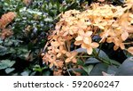 yellow flower gardening... | Shutterstock . vector #592060247
