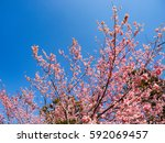 cherry blossoms | Shutterstock . vector #592069457
