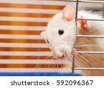 curious white rat looking out...   Shutterstock . vector #592096367