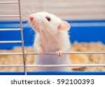 Funny White Rat Looking Out Of...