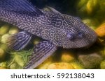 Small photo of Amazon sailfin catfish (Pterygoplichthys pardalis) is a freshwater tropical fish in the armored catfish family (Loricariidae).