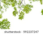 green leaves isolated on white... | Shutterstock . vector #592237247