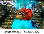Red Lionfish  Pterois Volitans...
