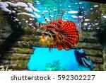 Red Lionfish  Pterois Volitans...
