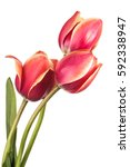 isolated tulip flowers on a... | Shutterstock . vector #592338947