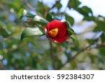 one wheel of camellia | Shutterstock . vector #592384307