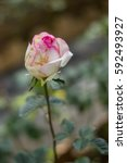 Stock photo roses bloom in the garden beautiful 592493927