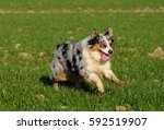 australian shepherd purebred... | Shutterstock . vector #592519907