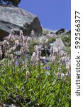 Small photo of Beautiful Wildflowers in a mountain meadow. Actaea (Cimicifuga simplex)
