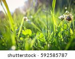 Grass And Clover In A Meadow I...