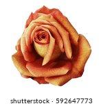 yellow red rose flower  white... | Shutterstock . vector #592647773