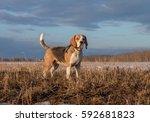 Dog Beagle On A Walk In The...