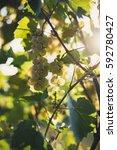 grape in the vineyard  grape in ... | Shutterstock . vector #592780427
