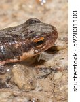 Small photo of newt head close up, triton salamander amphibia animal