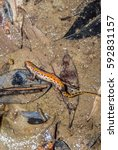Small photo of triton salamander amphibia animal