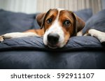 dog laying down on the couch | Shutterstock . vector #592911107